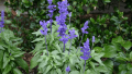 mealy-blue-sage