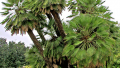 mediterranean-fan-palm
