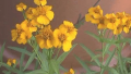 mexican-mint-marigold
