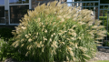 morning-light-ornamental-grass