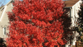 october-glory-red-maple-fall