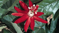 passionflower-vine1