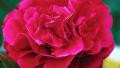 patio-camellia