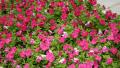 petunia-pink