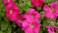petunia-pink-3