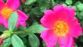 pink-purslane