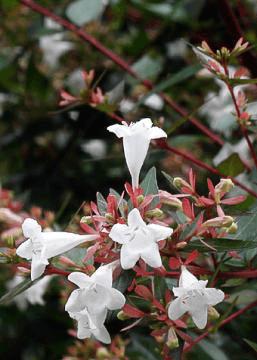 Prostrate White Abelia Lawn Connections Llc