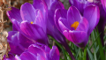 purple-crocus