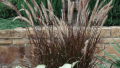 purple-fountain-grass