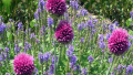 purple-sensation-allium