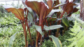 red-banana-plant
