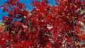 red-oak-2
