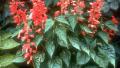 red-salvia