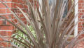 red-sensation-cordyline