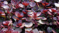 sedum-dragons-blood