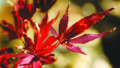 shaina-japanese-maple