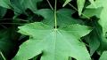 slender-silhouette-sweetgum-leaf