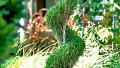 spiral-juniper