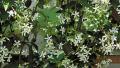 star-jasmine1