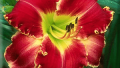 starburst-red-daylily