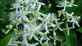sweet-autumn-clematis1