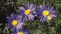tahoka-daisy