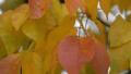 texas-ash-fall-leaf