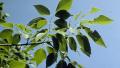texas-ash-leaf