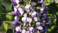 texas-mountain-laurel-bloom