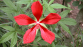 texas-star-hibiscus