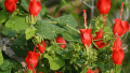 turks-cap-bloom
