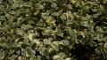 variegated-asian-jasmine