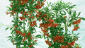 victory-pyracantha