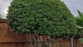 wax-myrtle-tree