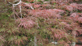 weeping-japanese-maple-2