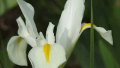 white-dutch-iris