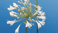white-lily-of-the-nile-agapanthus