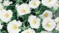 white-portulaca