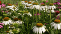 white-swan-coneflower