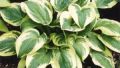 wide-brim-hosta