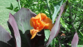 wyoming-canna-lily
