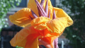 wyoming-canna-lily-bloom