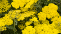 yarrow-yellow