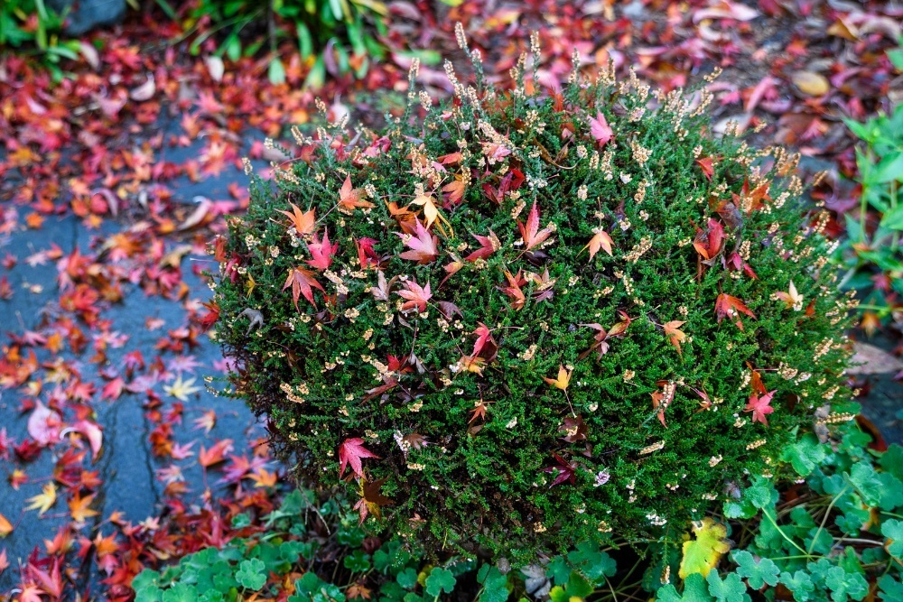 shrub covered and surrounded by fallen leaves.